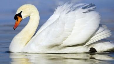 Лебедь-плывёт