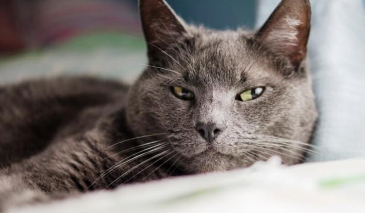 pisica-albastru-de-rusia