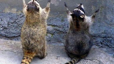 Praying-Raccoons