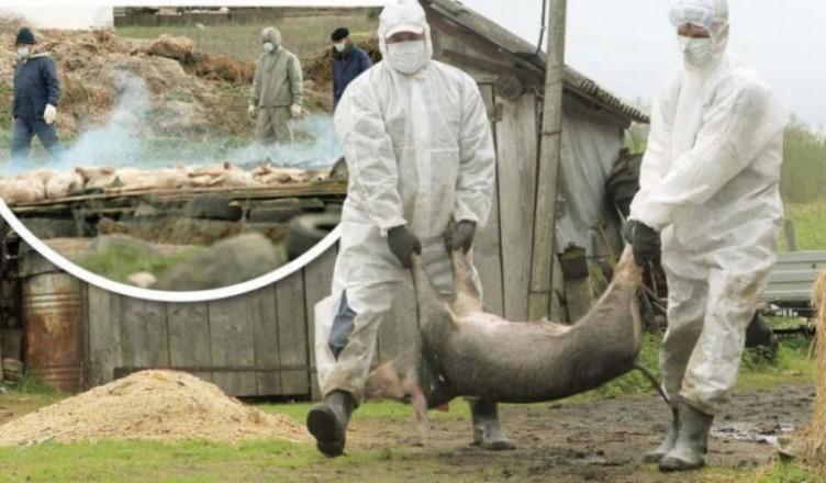 ansa-focarele-de-pesta-porcina-din-raionul-donduseni--declarate-libere-de-virus--republica-moldova-ramane-zona-de-risc-1483524733