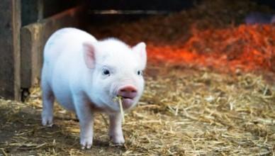 pigs-678x381