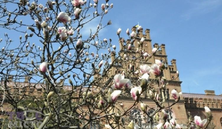 magnolii3