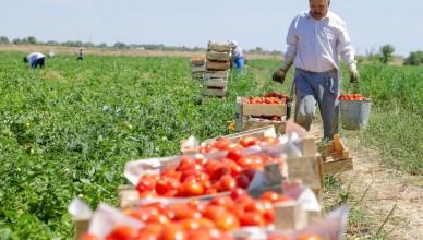 astrahanskie-pomidori-1024x683