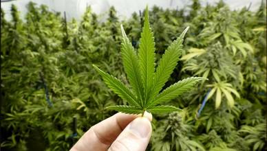 weed_marijuana