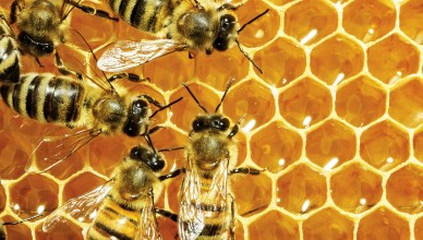 mierea-romaneasca-albine-romanesti