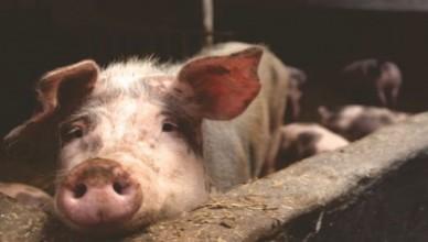 suspiciuni-de-pesta-porcina-in-judetul-botosani-572979
