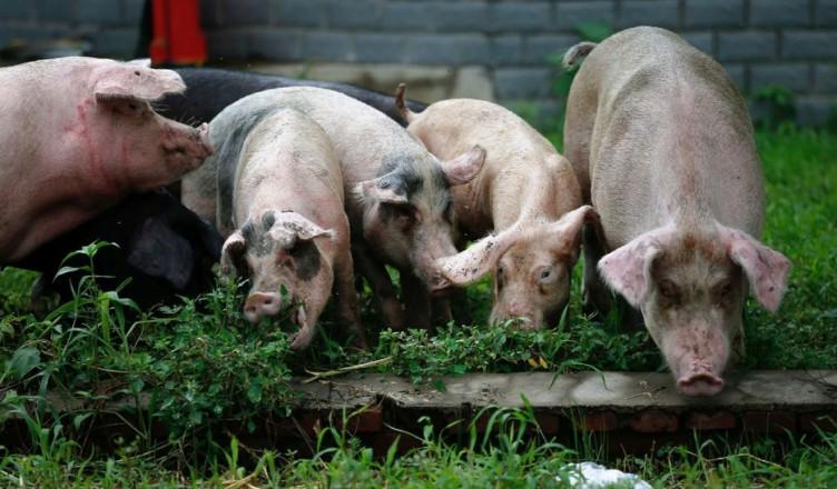 pesta-porcina-africana-2-hepta