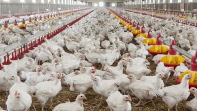 Avicultorii-despre-exportul-de-carne-de-pasare-si-oua-in-UE-Cum-putem-sa-fim-noi-competitivi-55482-1553249926-752x440