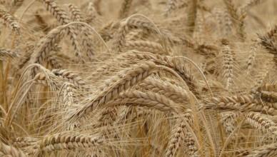 wheat-8762-1280