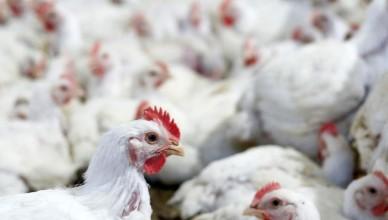 815366-1574783333-ue-va-impune-limitari-importurilor-de-carne-de-pui-din-ucraina-protejand-productia-interna