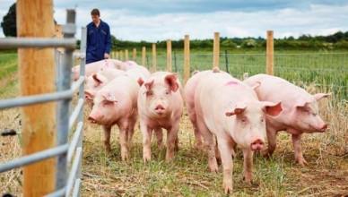 pigs-640x307