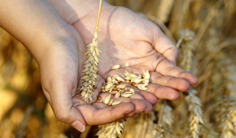 wheat-3534233_1920
