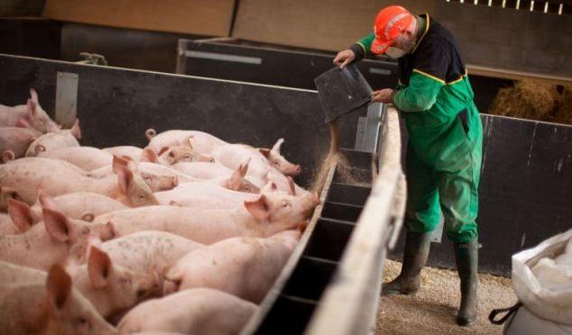 Informatii-hrana-porcine