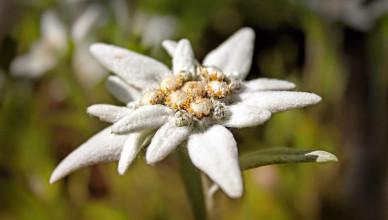 cultivare_floare_de_colt@tettu-1